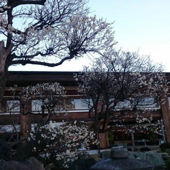 日本庭園の梅のお花